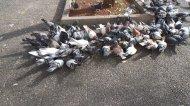 gołębie na chodniku